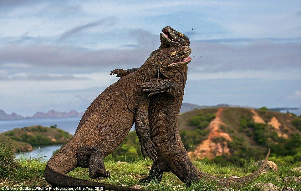 'Komodo judo' by Andrey Gudkov, Wildlife Photographer of The Year